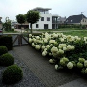 Hoveniers Beplanting hortensia